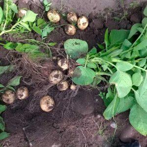 Sundö färsk potatis nypotatis
