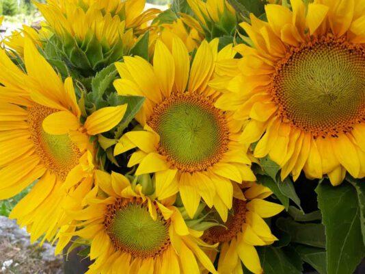 Sundö solrosor och solrosodling